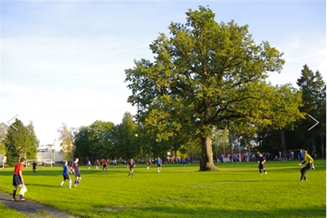 Tölgy a focipálya közepén - Észtország